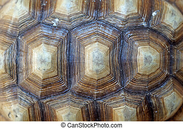 african spurred tortoise or geochelone sulcata shell as...