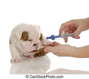 veterinario, cuidado, -, Inglés, Bulldog, perrito,...