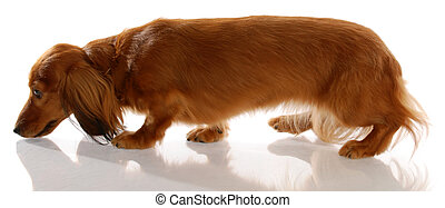 long haired miniature dachshund walking sniffing ground