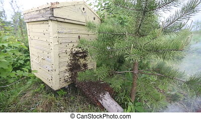 Honeybee swarm - Beekeeper smokes bee swarm. bee smoker. bee...