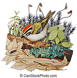 Golden-crowned Kinglet with moss - Regulus satrapa