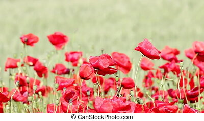 poppies flower on field nature