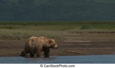 Grizzly Bear drinking water - Grizzly Bear Ursus arctos...