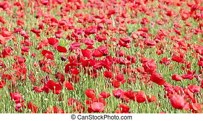 poppy flowers field nature background
