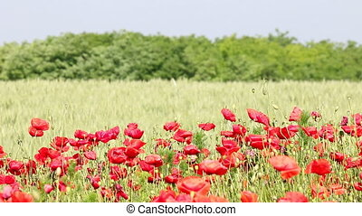 poppy flowers field summer season