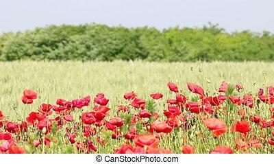 poppy flowers field summer season landscape