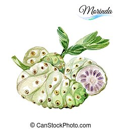 Morinda - Watercolor morinda isolated on a white background