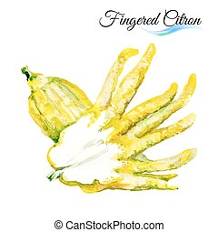 Fingered citron - Watercolor fingered citron isolated on...