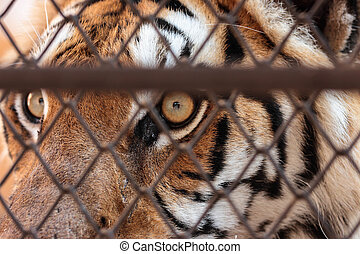 Eye of tiger in a cage
