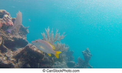Fish Swimming on Reef - Large fish swim into frame just...