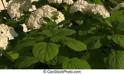 Hydrangea flower bush with white blooms and green leaves in...
