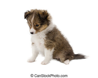 Beautiful happy sheltie puppy dog is sitting frontal and...