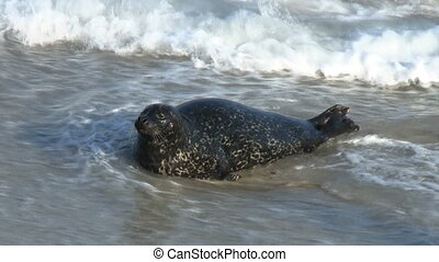 Wild Seal Yawning And Hopping Onto Shore