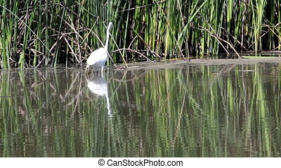 Egret Hunting And Eating In Wetland - White Egret Hunting...