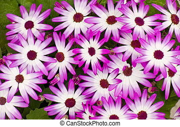 Purple Aster Cluster - A cluster of purple asters in full...
