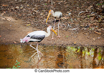 The Painted Stork Mycteria leucocephala is a large wading...