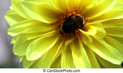 bee pollinates a yellow dahlia