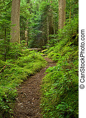Pacific Northwest Rainforest Path - A small winding forest...