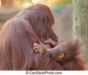 Orangutans - The bonding of mother and baby orangutans