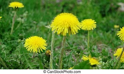Yellow dandelion in the middle of green grass macro