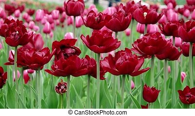 Beautiful tulips field in spring time, floral background.