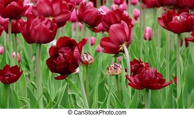 Red Beautiful tulips field in spring time, floral background...