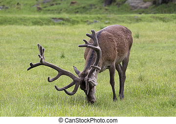 Large wapiti feeding