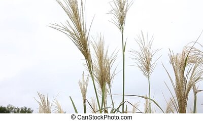 Pompei Grass blowing in the wind. - This is a video of...
