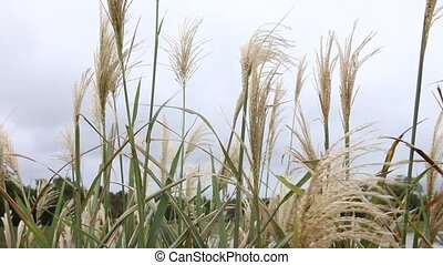 Pampas Grass blowing in the wind. - This is a video of some...