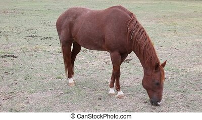 Brown horse eating grass - This is a video of a brown horse...