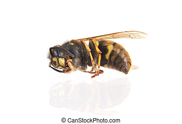 Dead wasp isolated on a white background