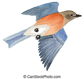 Western Bluebird - female - Sialia mexicana
