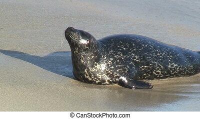 Wild Seal Hopping Onto Shore