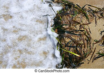 Algae from Mediterranean, green seaweed in the coastline...