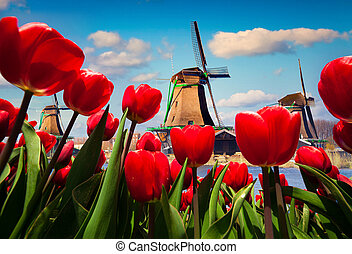 The famous Dutch windmills. Wiev through red tulips on the...