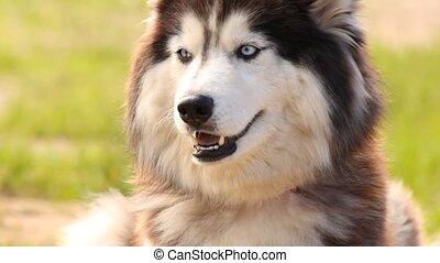 Portrait of a Siberian Husky closeup.