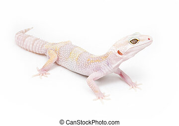 Phantom Leopard Gecko isolated on a white background