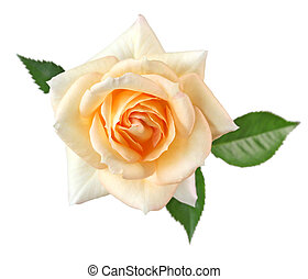 rose fujisan forever isolated on white background, apricot...
