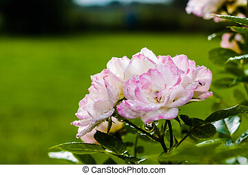 Pink Roses And Water Drops