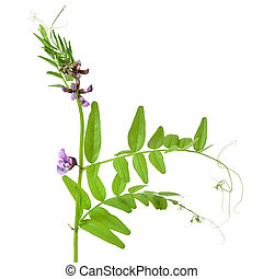 Vicia sepium flower isolated on white background