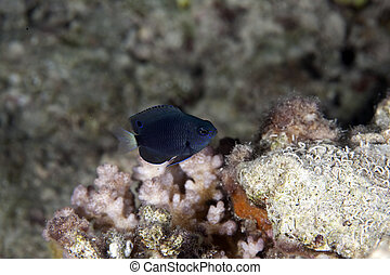 black damselfish