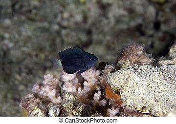 black damselfish