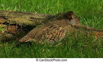 common partridge Perdix perdix