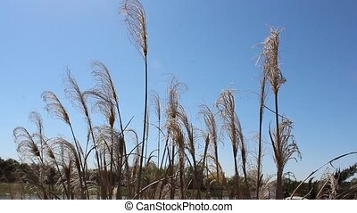 Pampas grass blowing in the wind - This is a video of...