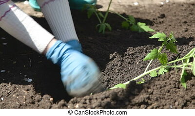 planting seedlings - planting tomato seedlings in the soil
