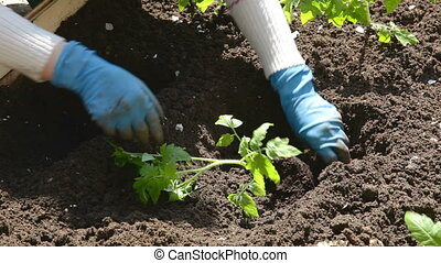 planting seedlings in the soil