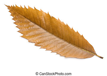 leaf - One chestnut tree leaf isolated in white background