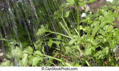 watering of vegetable garden