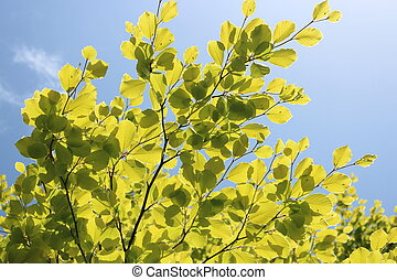 Brilliant Green Beech Leaves - Brilliant new spring leaves,...