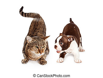 Adult Cat Annoyed With Playful Puppy - An adult tabby with...
